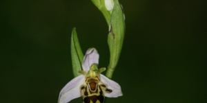 The orphys bee orchid.