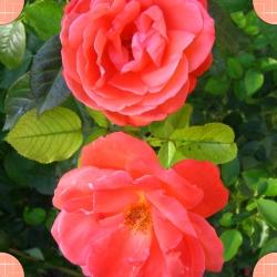 les roses de notre jardin maintenant une carte de visite